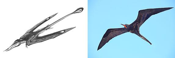 rhamphorynchoid/frigate bird