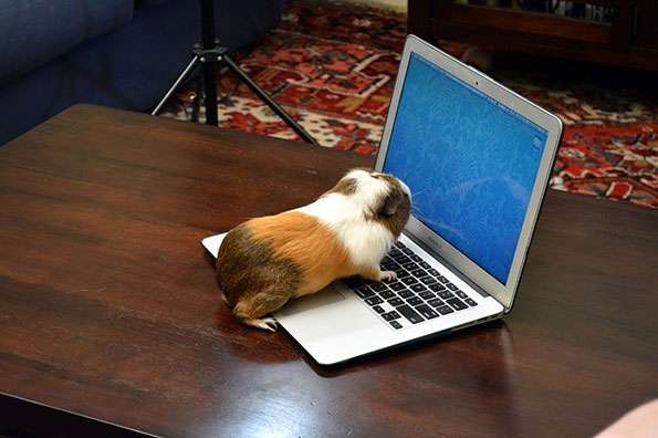 small animal crawling on a computer keyboard appearing to use the computer